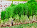 Seedling Rice Harvest Royalty Free Stock Photography - 20862877