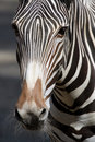 Zebra Stock Photography - 20878362