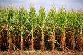 Rows Of Corn Ready For Harvest Stock Photography - 20892852