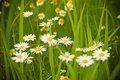 Wild Camomile Stock Photography - 20935162