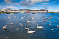 Swans In Galway Bay, Ireland. Royalty Free Stock Photo - 20952365