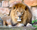 Male Lion Royalty Free Stock Photography - 20973267