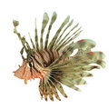 Lionfish Stock Images - 20977364