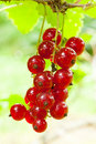 Red Currant Royalty Free Stock Image - 20991566