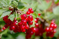 Red Currant Berries On A Bush Stock Photo - 20995860