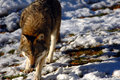 Wolf Royalty Free Stock Image - 2103656