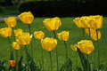 Yellow Tulips In A Park Stock Photos - 2108773