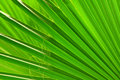 Green Palm Leaf Close-up Royalty Free Stock Photography - 21003737