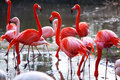 Flamingo Royalty Free Stock Photos - 21014748