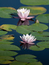 Water Lily In The Pond Royalty Free Stock Photography - 21057227