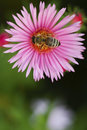Bee On A Flower Astor Royalty Free Stock Photography - 21077397