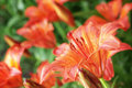 Lily Royalty Free Stock Image - 21079616