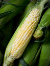 Fresh Corn Royalty Free Stock Photo - 21081015
