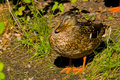 Brown Duck Stock Photography - 21092592