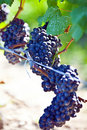 Bunches Of Grapes Stock Photo - 21106480