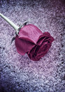 Frozen Rose On Snow Royalty Free Stock Image - 21155266