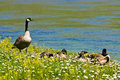Canada Goose Family @ Yellowstone, Wyoming Royalty Free Stock Photography - 21160537