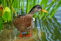Duck On Water Stock Images - 21161614