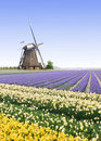 Windmill At The Tulip Bulb Farm Stock Photos - 21192163