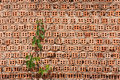 Vine On Old Brick Wall Royalty Free Stock Photo - 21218445