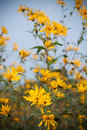Small Sunflowers Stock Images - 21238274