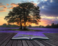 Creative Concept Image Of Lavender In Sunset Royalty Free Stock Images - 21276979