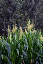 Corn Field Stock Images - 21300574