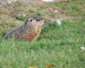 Ground Hog Stock Photography - 21302992
