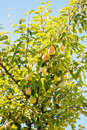 Ripe Pears Stock Photography - 21306292