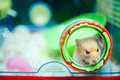 Hamster Peeping Out Stock Photo - 21311170