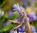 Praying Mantis Stock Image - 21312071