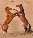 Wild Horse Stallions Fighting Royalty Free Stock Image - 21329796