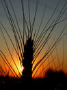 Wheat At Sunset Royalty Free Stock Images - 21333829