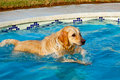 Golden Retriever Swimming Stock Image - 21334101