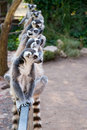 Lemurs Royalty Free Stock Photo - 21336045
