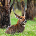 Male Waterbuck Stock Image - 21347321