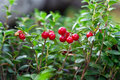 Cowberry Stock Images - 21355404