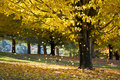 Fall Foliage Yellow Maple Leaves From Autumn Tree Royalty Free Stock Photos - 21363958