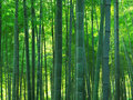 Bamboo Forest Royalty Free Stock Photo - 21366015