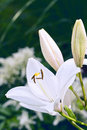 Lily With Two Buds Royalty Free Stock Photo - 21373635