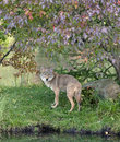 Coyote Peeking Under Autumn Leaves Royalty Free Stock Photography - 21377337