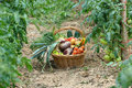 Harvest Vegetables Two Royalty Free Stock Images - 21382079