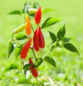 Chili Hot Peppers Plant In Red And Orange Stock Photography - 21382652