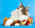 Close-up Of Maine Coon Cat Stock Image - 21428501