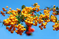 Branch Of Of Yellow Firethorn Berries Royalty Free Stock Image - 21432746