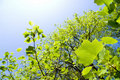 Tulip Tree Leaves Royalty Free Stock Photography - 21432967