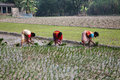 Women Working In Rice Plantation Stock Photos - 21437323