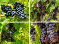 Grapes Collection Royalty Free Stock Photography - 21446227