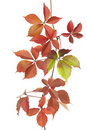 Boston Ivy Royalty Free Stock Photography - 21477087