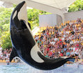 Leaping Killer Whale Stock Image - 21483251